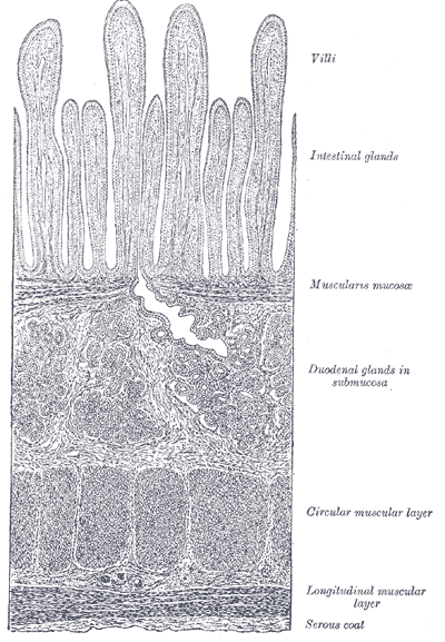 This is a drawing of a section of the duodenum. It shows the layers of the duodenum: the serosa, muscularis, submucosa, and mucosa.