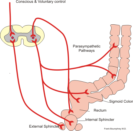 This is a diagram of the defecation reflex. The conscious and parasympathetic pathways of the defecation reflex are shown. The conscious pathway goes directly to the external sphincter. The parasympathetic pathways go to the sigmoid colon, the rectum, and internal sphincter.