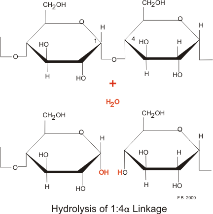 This is a diagram of hydrolysis by amylase. It shows how both the parotid and pancreatic amylases hydrolyze the 1:4 link, but not the terminal 1:4 links or the 1:6 links.