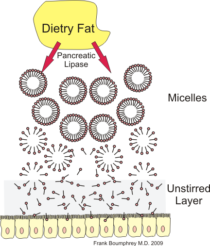 This is a diagram of lipid digestion, which involves the formation of micelles in the presence of bile salts, and the passage of micelles and fatty acids through the unstirred layer. The diagram depicts dietary fat at the top, with pancreatic lipase and bile salts forming micelles that will pass through the unstirred layer at the bottom of the diagram.