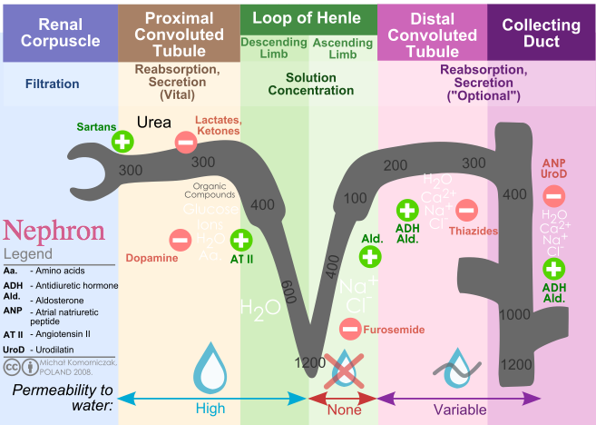 A diagram of the nephron that shows, from left to right: filtration in the renal corpuscle, vital reabsorption and secretion in the proximal convoluted tubule, solution concentration in the loop of Henle, and optional reabsorption and secretion in the distal convoluted tubule and the collecting duct.