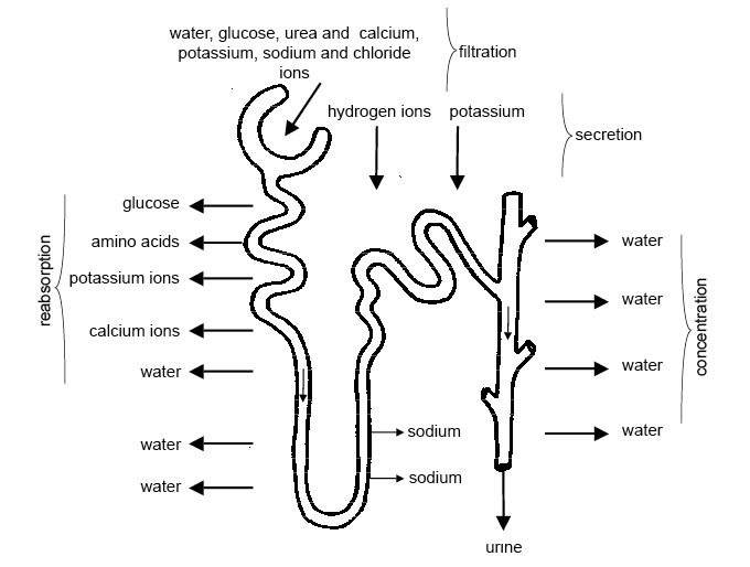 This is a diagram of the process of urine formation. As the fluid flows along the proximal convoluted tubule useful substances like glucose, water, salts, potassium ions, calcium ions, and amino acids are reabsorbed into the blood capillaries that form a network around the tubules. Many of these substances are transported by active transport and energy is required.