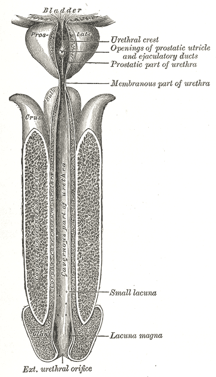 This is a detailed view of the male urethra. Starting from the bladder, we see labeled the prostate, urethral crest, the openings of the prostatic utricle and ejaculatory ducts, the prostatic part of the urethra, the membranous part of the urethra, the small lacuna, the lacuna magna, and the exterior urethral orifice at the tip of the penis.