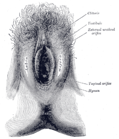 This anatomical drawing shows the location of the external urethral orifice in adult females. It is located between the vestibule and the vaginal orifice.