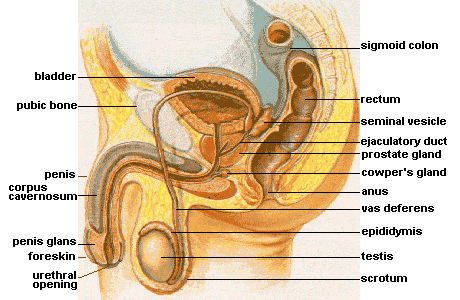 This diagram of the male reproductive organs indicates the bladder, pubic bone, penis, corpus cavernosum, penis glands, foreskin, urethral opening, scrotum, testis, epididymis, vas deferens, anus, Cowper's gland, prostate gland, ejaculatory duct, seminal vesicle, rectum, and sigmoid colon.