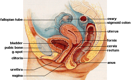 This diagram of the female reproductive system indicates the Fallopian tube, bladder, G-spot, clitoris, pubic bone, urethra, vagina, ovary, sigmoid colon, fornix, cervix, rectum, and anus.