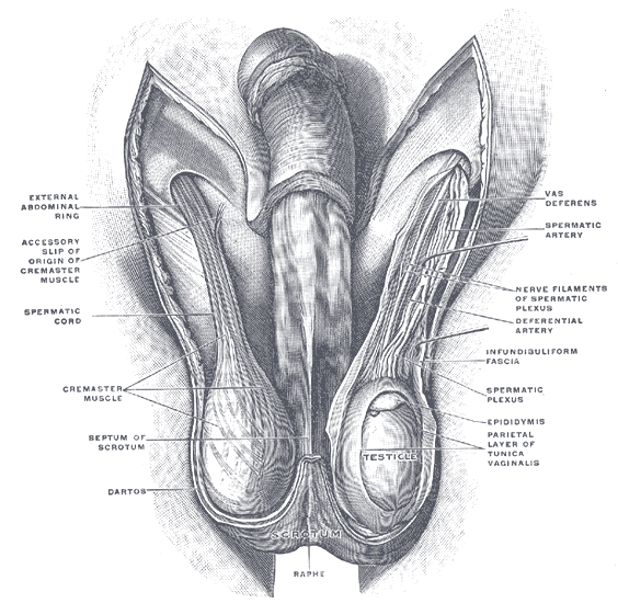 This diagram of the male reproductive organs indicates the vas deferens, spermatic artery, nerve filaments of spermatic plexus, deferential artery, epididymis, infundibuliform fascia, parietal layer of tunica vaginalis, testicle, scrotum, raphe, dartos, cremaster muscle, septum of scrotum, spermatic cord, accessory slip of origin of cremaster muscle, and external abdominal ring.