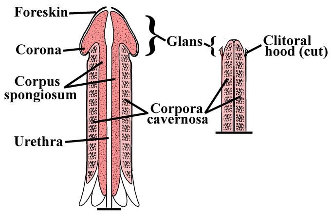 This diagram comparing the penis to the clitoris indicates the foreskin, corona, corpus spongiosum, urethra, corpura cavernosa, glans, and clitoral hood.