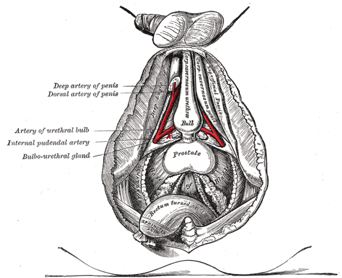 This diagram of the prostate indicates the deep and dorsal arteries of the penis, artery of urethral bulb, internal pudendal artery, bulbourethral gland, sphincter, and rectum.