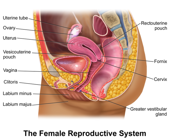 Illustrated sagittal view of the female reproductive system.