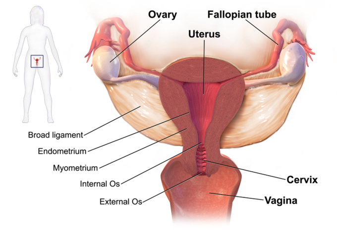 This diagram of the female reproductive system indicates the ovary, Fallopian tube, uterus, broad ligament, endometrium, myometrium, internal os, external os, cervix, and vagina.