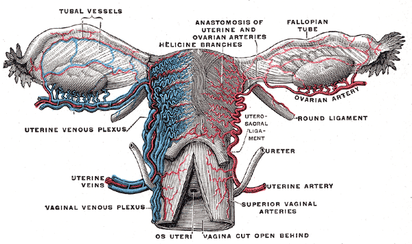 The Female Reproductive System | Boundless Anatomy and Physiology
