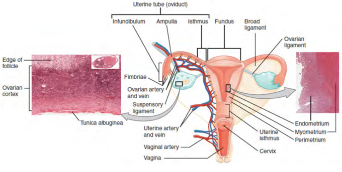 Illustrative drawing of the anterior view of the uterus showing the uterine segments, indicating the uterine tube (oviduct), infundibulum, ampulla, isthmus, fundus, broad ligament, ovarian ligament, endometrium, myometrium, perimetrium, uterine isthmus, cervix, vagina, vaginal artery, uterine artery and vein, suspensory ligament, ovarian artery and vein, fimbriae, tunica albuginea, ovarian cortex, and edge of follicle.