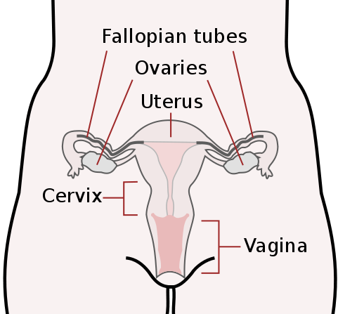 The female reproductive system boundless anatomy and physiology vagina the vagina is the most immediate internal female reproductive organ this diagram also indicates the ovaries uterus and cervix ccuart Choice Image