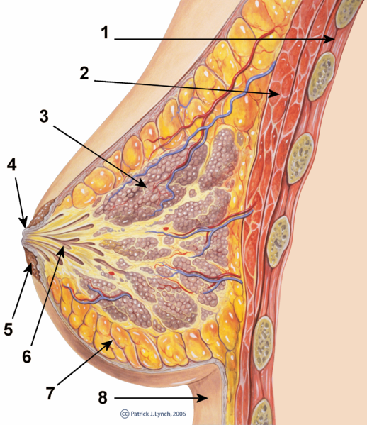 Drawing of the cross-section of the mammary-gland.