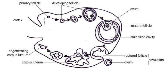 This diagram of the ovarian cycle shows the cortex, primary follicle, developing follicle, ovum, mature follicle, fluid-filled cavity, ruptured follicle, ovulation, corpus luteum, and degenerating corpus luteum.