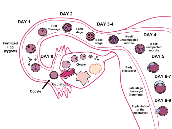 This is a diagram of human fertilization. It shows the sperm and ovum uniting through fertilization. This union creates a zygote that develops over the course of 8 to 9 days that will implant itself in the uterine wall, where it will reside over the course of 9 months.