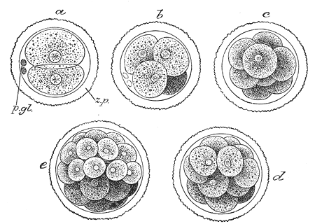 This is a drawing of cell cleavage. The cell stays the same size in all 5 drawings, but the zygotes inside the cell increase in number.