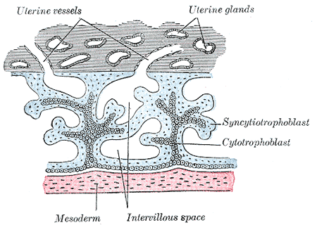 This is a drawing of chorionic villi. The syncytiotrophoblasts are identified within the endometrium and are seen attaching to the uterine wall to form chorionic villi.