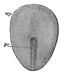 A drawing of a rabbit embryo that identifies the embryonic disc and the primitive streak on it.