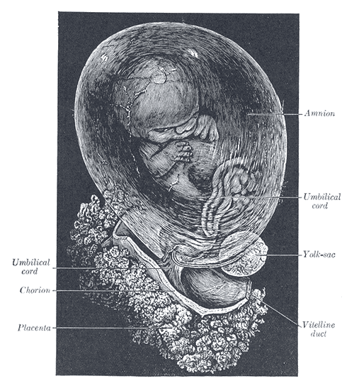 This is a cutaway drawing showing a human fetus in a womb. The fetus is seen enclosed within the amnion.