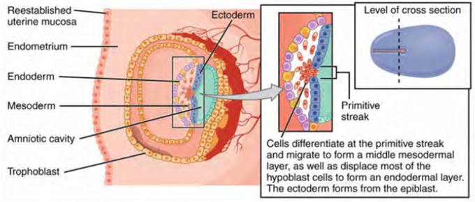 This is a diagram of the formation of the three primary germ layers—ectoderm, mesoderm, and endoderm—that occurs during the first two weeks of development. The embryo at this stage is only a few millimeters in length.
