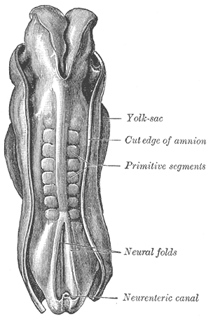 This is drawing of a dorsal view of a human embryo. The repetitive somites are marked with the older term primitive segments.
