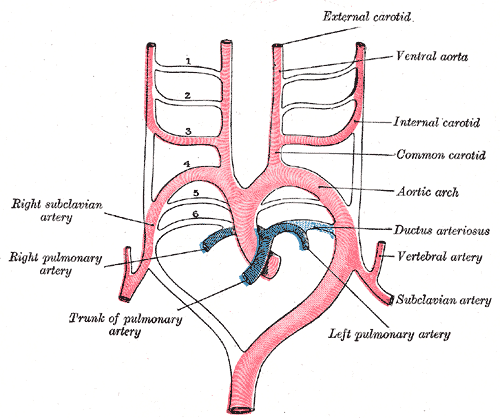 This is a schematic drawing of the aortic arches and their arterial destinations.