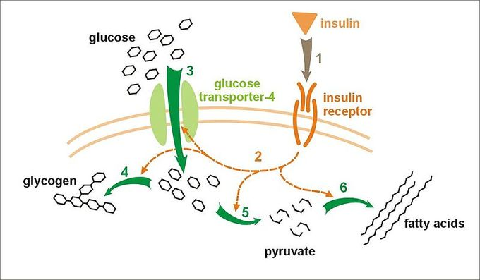 This is a diagram of the effect of insulin on glucose uptake and metabolism. The diagram first shows how insulin binds to its receptor on the cell membrane, which in turn starts many protein activation cascades. These include: the translocation of the glut-4 transporter to the plasma membrane and an influx of glucose, glycogen synthesis, glycolysis, and fatty acid synthesis.
