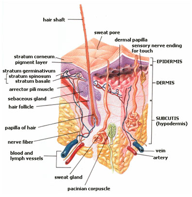 This diagram of the integumentary system indicates the hair shaft, sweat pore, dermal papilla, sensory nerve ending for touch, epidermis, dermis, subcutis (hypodermic), vein, artery, sweat gland, pacinian corpuscle, blood and lymph vessels, nerve fiber, papilla of hair, hair follicle, sebaceous gland, arrector pili muscle, stratum basale, stratum spinosum, stratum germinativum, pigment layer, and stratum corneum.