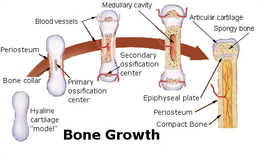 This diagram of bone growth indicates hyaline cartilage model, bone collar, periosteum, blood vessel, primary and secondary ossification centers, articular cartilage, spongy bone, epiphyseal plate, and complex bone.
