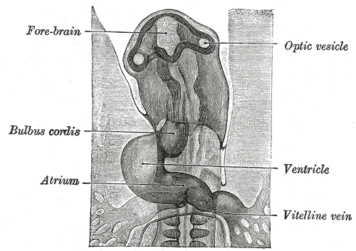 This diagram of the optical vesicle indicates the forebrain, bulbus cordis, atrium, ventricle, and vitelline vein.