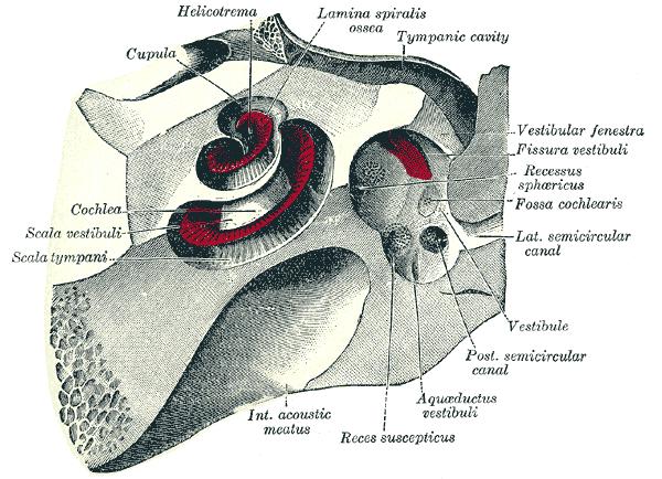This diagram of the mammalian ear indicates the cupula, helicotrema, lamina spiralis ossea, tymphanic cavity, vestibular fenestra, fissura vestibuli, recessus sphericus, fossa cochlearis, lateral semicircular canal, vestibule, posterior semicircular canal, aquaductus vestibuli, reces suscepticus, interior acoustic meatus, scala tympani, scala vestibuli, and cochlea.