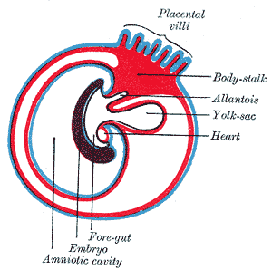 This diagram of the foregut indicates the placental villi, body stalk, allantois, yolk sac, heart, foregut, embryo, and amniotic cavity.