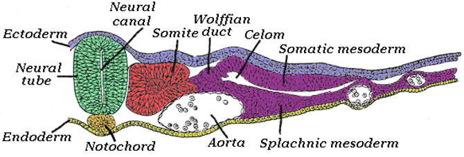 This diagram of the intermediate mesoderm indicates the ectoderm, endoderm, neural tube, neural canal, notochord, aorta, somite, Wolffian duct, celom, splanic mesoderm, somatic mesoderm.