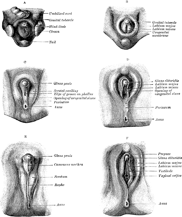 Development Of The Reproductive System Boundless Anatomy And