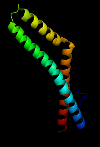 This is a computer-generated image of the protein structure of the coiled-coil domain of human occludin.