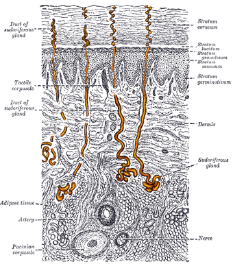 This is an image of a sweat gland. It is a magnified, sectional view of the skin, with the eccrine glands highlighted.