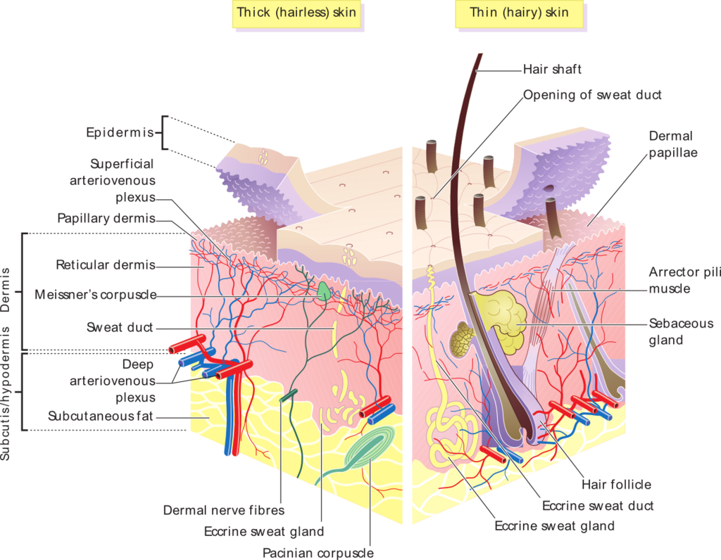 This image details features of the epidermal and dermal layers of the skin. It shows the layers of cutaneous membranes (skin) for two skin types, thick and think. Thick skin is hairless and thin skin is hairy.