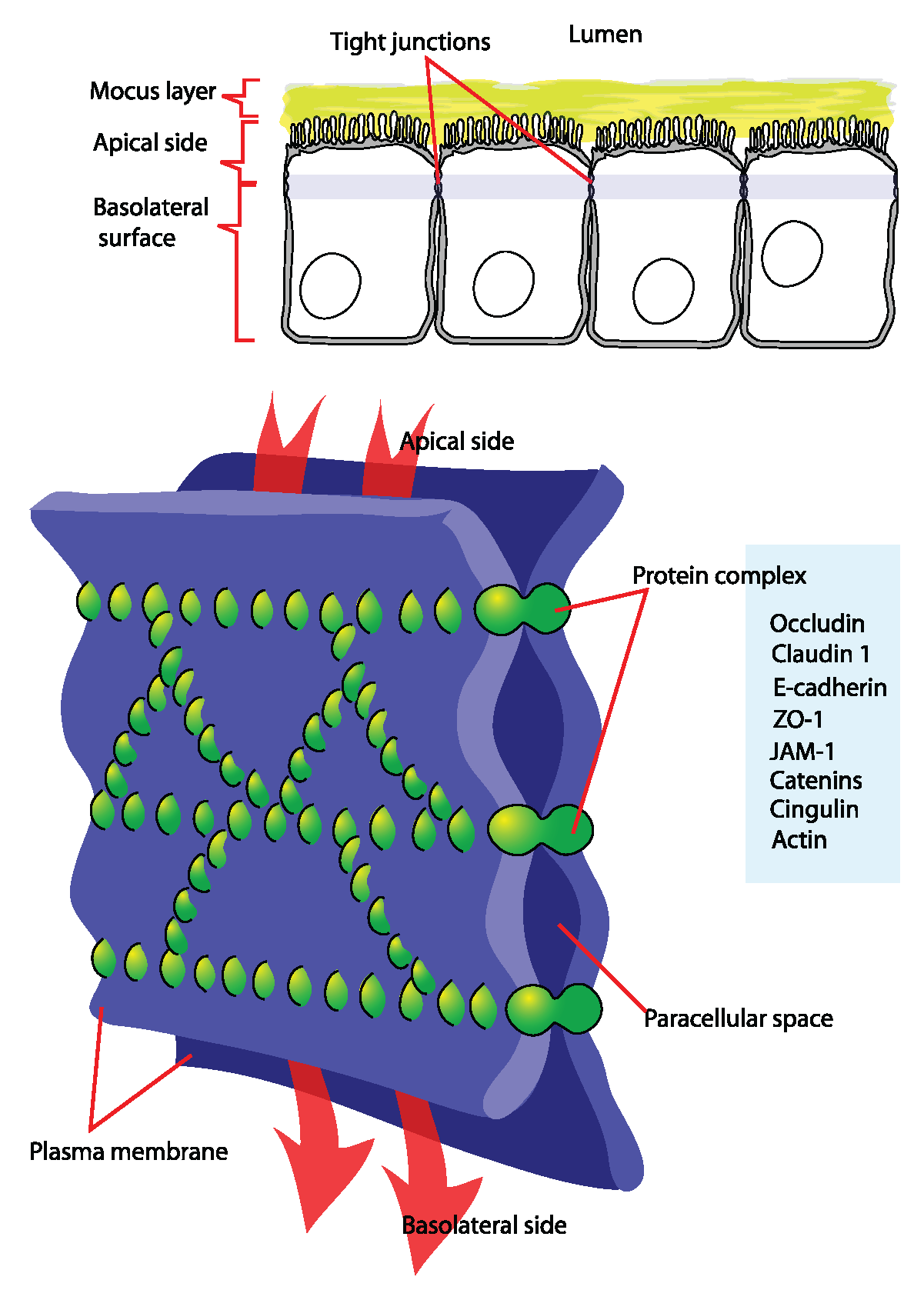 This is a color diagram of tight junction components in a plasma membrane. It shows how tight junctions form seals that create paracellular spaces throughout the plasma membrane.