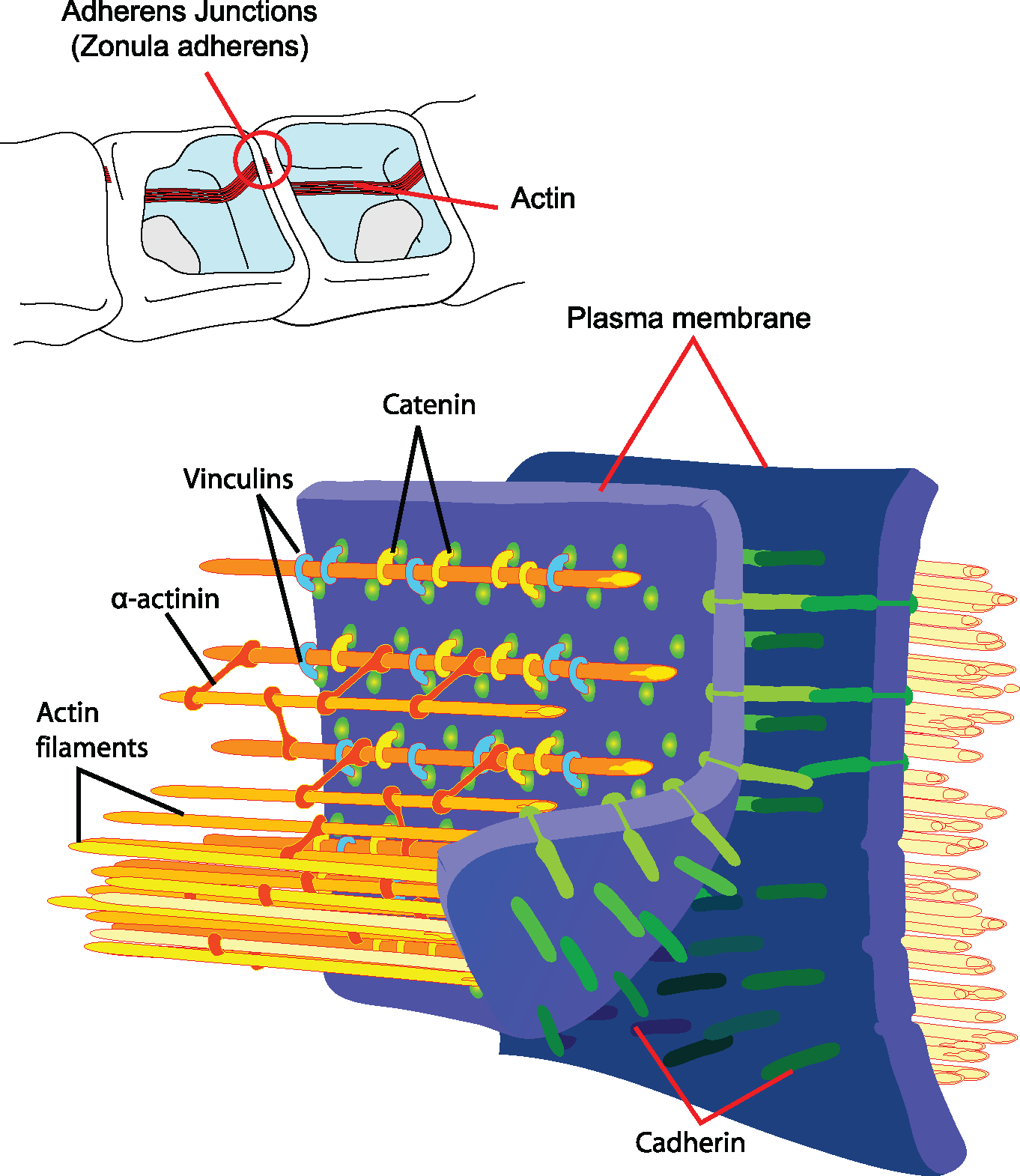 Cell Junctions | Boundless Anatomy and Physiology