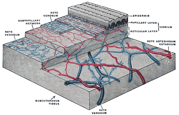This is an image of the distribution of the blood vessels in the skin of the sole of the foot. The blood vessels that supply the capillaries of the papillary region are seen running through the reticular layer.