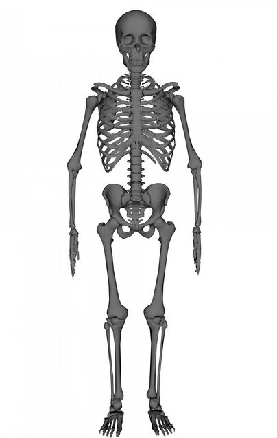 overview of the skeletal system | boundless anatomy and physiology, Skeleton