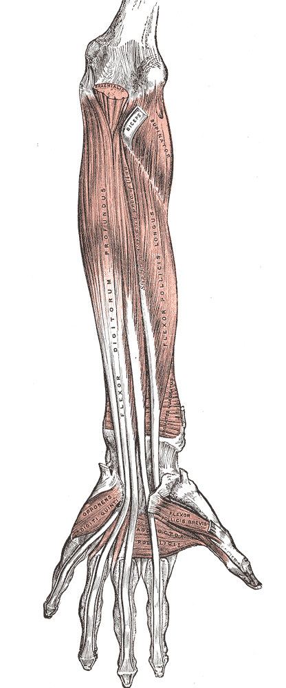 This diagram of the forearm depicts muscles including the flexor digitorum profundus, flexor pollicus longus, biceps, and supinator.