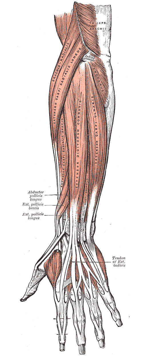 Muscles of the Upper Limb | Boundless Anatomy and Physiology