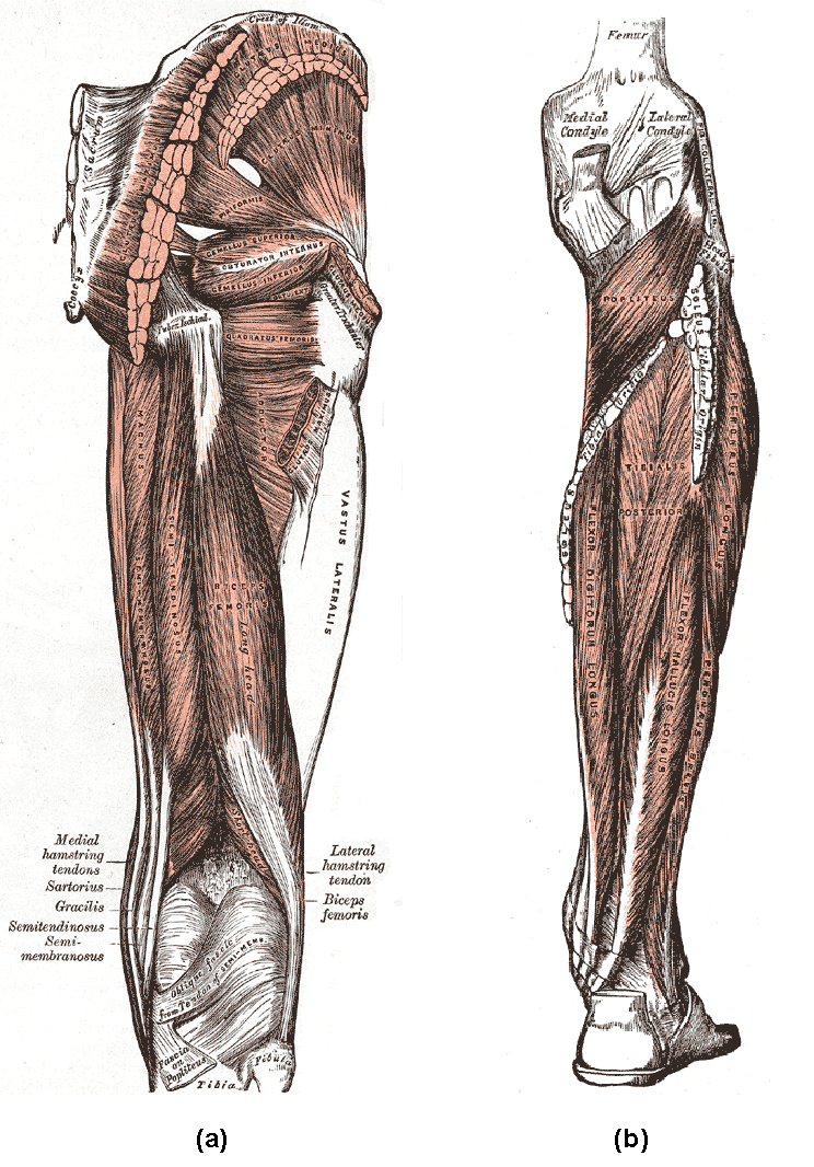 Muscles of the lower limb boundless anatomy and physiology a posterior muscles of the thigh and b posterior region of the lower leg the biceps femoris and synergistic semitendinosus and the semimembranosus ccuart Choice Image