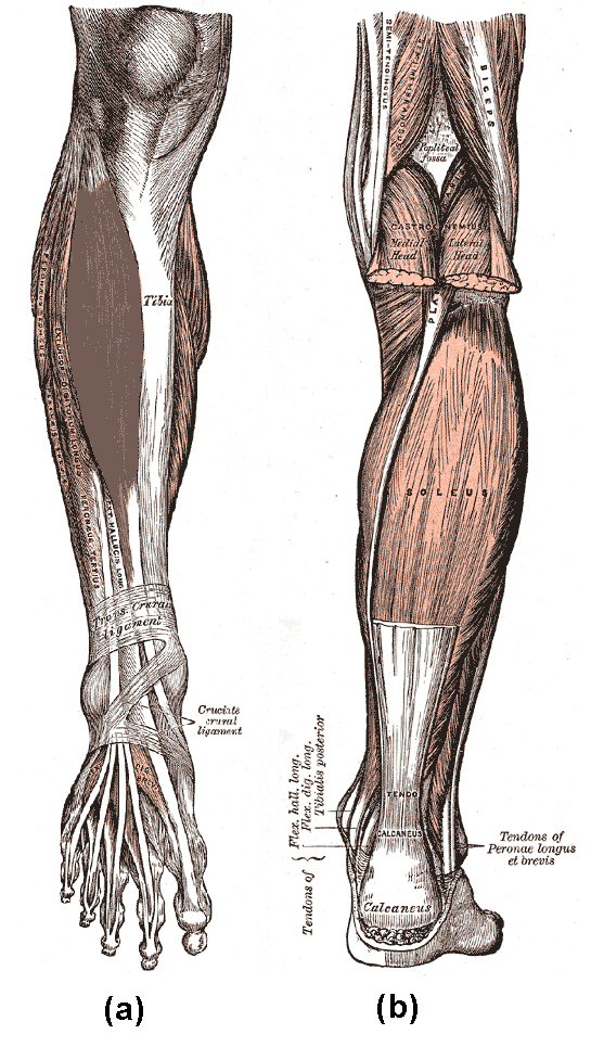 Diagram A depicts the tibialis anterior, tibia, transcrural ligament, and cruciate crural ligament. Diagram B depicts muscles of lower leg, including the soleus.