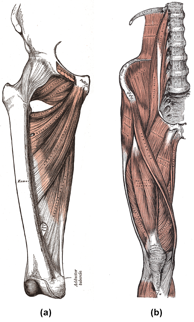Diagram A depicts the adductor group muscles, including the adductor brevis, adductor longus, adductor magnus, pectineus, and gracilis. Diagram B depicts the muscles of the iliaopsoas group, including the iliacus and psoas major.