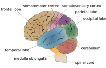 This diagram of the cerebral lobes delineates the frontal lobe, temporal lobe, medulla oblongata, spinal cord, cerebellum, occipital lobe, parietal lobe, somatosensory cortex, and somatomotor cortex.