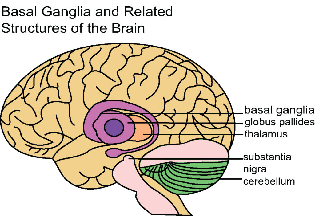 This diagram of the basal ganglia indicates the structure itself as well as the global pallides, thalamus, substantia nigra, and cerebellum.